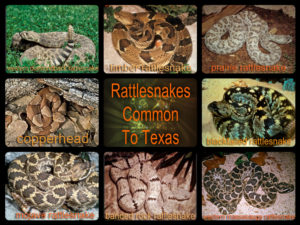 Rattlesnakes and Dogs Don't Mix: San Antonio Pets & Vets