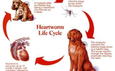 Heartworm Treatment
